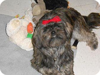 Shih Tzu Dog for adoption in Lockhart, Texas - Sunnie