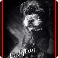 Adopt A Pet :: Ladybug ~ Adoption Pending - Youngstown, OH