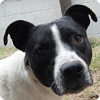 Hound (Unknown Type)/Pit Bull Terrier Mix Dog for adoption in Marion, Alabama - Hermann Rorschach