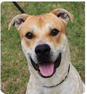 Cattle Dog Mix Dog for adoption in Red Bluff, California - DONALD: Low fees, Neutered