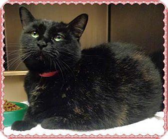 Domestic Shorthair Cat for adoption in Marietta, Georgia - BOOBOO KITTY