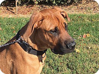 Great Dane/Boxer Mix Dog for adoption in LaGrange, Kentucky - MAX