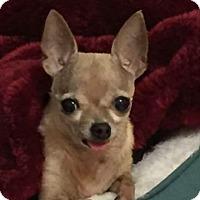 Adopt A Pet :: Pippa - Las Vegas, NV