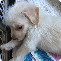 Adopt A Pet :: Luke - BONITA, CA