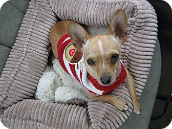 Chihuahua Dog for adoption in Bellflower, California - Becker