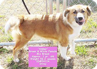 Collie Mix Dog for adoption in Largo, Florida - Amber