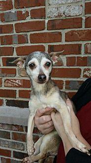 Chihuahua Dog for adoption in Mount Pleasant, South Carolina - Tia