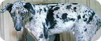 Catahoula Leopard Dog/Australian Shepherd Mix Dog for adoption in Tahlequah, Oklahoma - Chuck