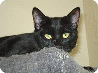 Domestic Shorthair Cat for adoption in Canutillo, Texas - Licorice