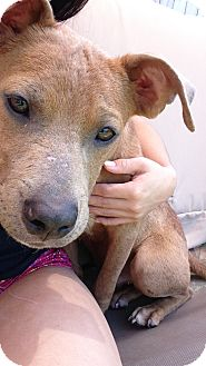Black Mouth Cur/American Staffordshire Terrier Mix Puppy for adoption in Houston, Texas - Blue