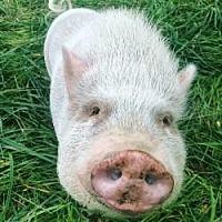 Adopt A Pet :: Arnold - Bruce Township, MI
