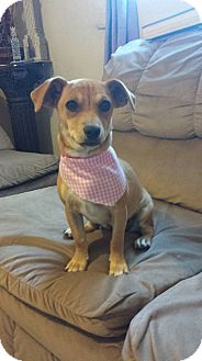 Dachshund/Chihuahua Mix Puppy for adoption in San Diego, California - Zoe