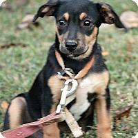 Adopt A Pet :: Ollie - Brattleboro, VT