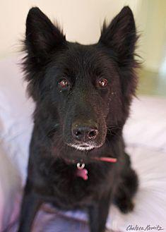 German Shepherd Dog Mix Dog for adoption in Canyon Country, California - Nova