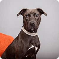 Adopt A Pet :: Bridgette - Mission Hills, CA