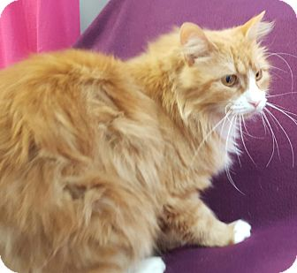 Domestic Longhair Cat for adoption in Hawk Point, Missouri - High Top