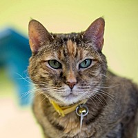Domestic Shorthair Cat for adoption in Evergreen, Colorado - Dolly