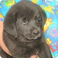 Adopt A Pet :: Kobe - Rochester, NY