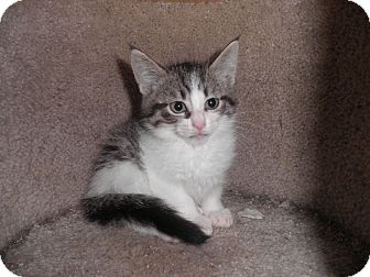 Domestic Shorthair Kitten for adoption in Warren, Michigan - Tango