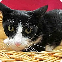 Domestic Mediumhair Cat for adoption in Chicago Ridge, Illinois - ANGEL