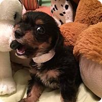 Adopt A Pet :: REMY - Higley, AZ