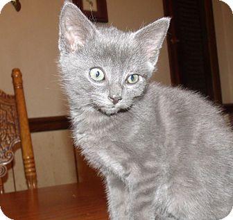 Domestic Shorthair Kitten for adoption in Acme, Pennsylvania - JASPER