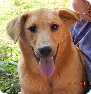 Golden Retriever/German Shepherd Dog Mix Puppy for adoption in Williamsport, Maryland - Hank (60 lb) Video!