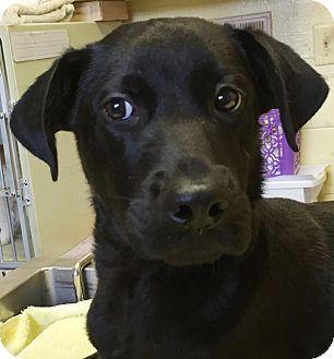 Labrador Retriever Mix Puppy for adoption in Orlando, Florida - Retro