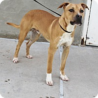Pit Bull Terrier Mix Dog for adoption in Odessa, Texas - A22 Steve