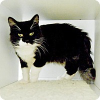 Maine Coon Cat for adoption in Oakland, California - Atlas