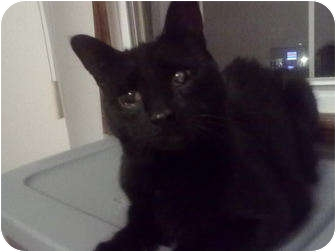 Domestic Shorthair Cat for adoption in Little Falls, New Jersey - Ipod (MG)