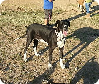 Great Dane Dog for adoption in Phoenix, Arizona - Roxie