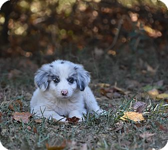 Great Pyrenees Mix Puppy for adoption in Groton, Massachusetts - Possum