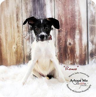 Border Collie/Schnauzer (Miniature) Mix Puppy for adoption in Lubbock, Texas - Romeo