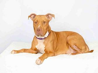 Pit Bull Terrier Mix Dog for adoption in Hampton Bays, New York - SISTER GIRL