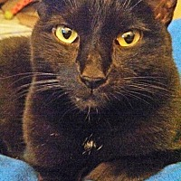 Domestic Shorthair Cat for adoption in Alexandria, Virginia - Sara (in foster)