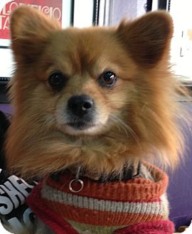 Pomeranian Dog for adoption in Thousand Oaks, California - Simba