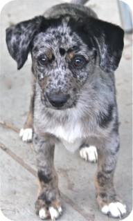 Terrier (Unknown Type, Medium)/Catahoula Leopard Dog Mix Dog for adoption in Norwalk, Connecticut - Dickens