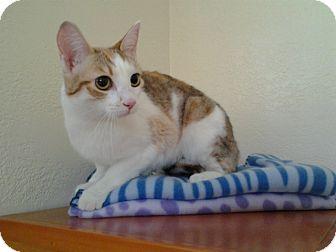 Calico Cat for adoption in Modesto, California - Ginger