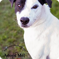 Pointer Mix Dog for adoption in Mohawk, New York - Poker