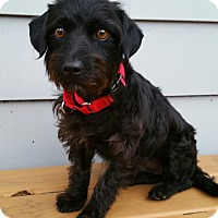 Adopt A Pet :: Carson-Adoption pending - Bridgeton, MO