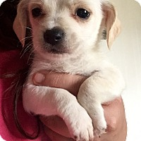 Adopt A Pet :: Maltese Mix Pup 1 - Long Beach, CA