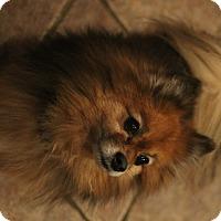 Adopt A Pet :: Pretzel - Flower Mound, TX
