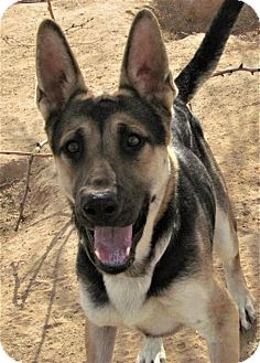 German Shepherd Dog Mix Dog for adoption in San Tan Valley, Arizona - Max
