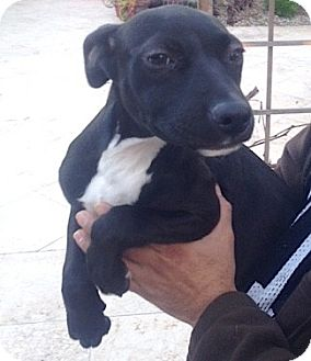 American Staffordshire Terrier/Labrador Retriever Mix Puppy for adoption in Los Angeles, California - Piper