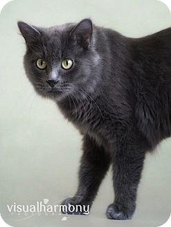 Russian Blue Cat for adoption in Phoenix, Arizona - Keira