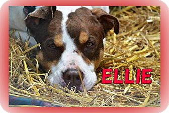 Pointer/American Staffordshire Terrier Mix Dog for adoption in Middletown, New York - Ellie