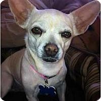 Adopt A Pet :: Chloe - Commerce City, CO
