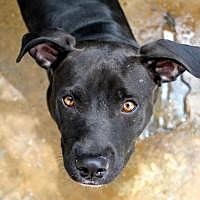 Staffordshire Bull Terrier Dog for adoption in Memphis, Tennessee - Midnight