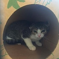 Domestic Shorthair Cat for adoption in Denver, Colorado - Wes
